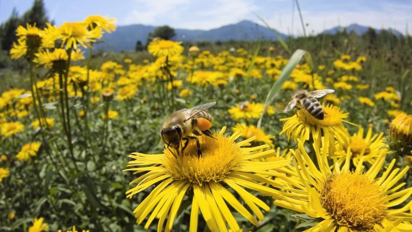 abeille et fleur 2.jpg